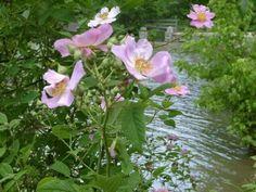North Dakota State flower is Wild Prairie Rose
