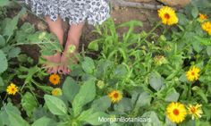 It is said that if a girl touches the petals of the Calendula flower with her bare feet that she will understand the language of the birds. In mythology the language of the birds is mystical, a perfectly divine language. A magical language used only by the birds to communicate w/ the initiated. This golden flower is a Sun-blessed plant & in the olden times it was said that just simply looking at a Calendula would banish anyone's sadness& was known by many to be the herb of love…