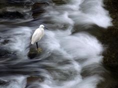 A white heron stands in a rush of water in Yokohama, Japan, in this National Geographic Photo of the Day.