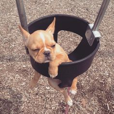"""""""Too late for coffee, too early for wine..."""" French Bulldog Puppy in a Swing, #humpday"""