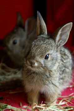 Bunny asked Santa for carrots, and lettuce. Has she been a good bunny? Hamsters, Cute Baby Animals, Animals And Pets, Funny Animals, Wild Animals, Baby Bunnies, Cute Bunny, Bunny Rabbits, Animal Pictures