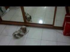 Mi Shih Tzu Gohan conoce al perro al otro lado del espejo/My Shih Tzu met the dog in the mirror. - YouTube