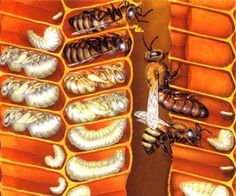 Honey bees - larval and pupae stages Bees For Kids, Bee Friendly Plants, Bee Hive Plans, I Love Bees, My Honey, Honey Bees, Beautiful Bugs, Save The Bees, Honey