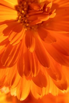 I ❤ COLOR NARANJA ❤ Orange Calendula Flower