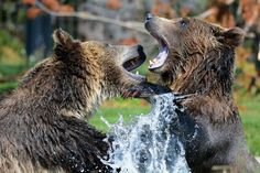 Der Contentbär SEO Contest 2021 Wild Animals Attack, Animal Attack, Black Bear, Brown Bear, Grizzly Bear Facts, Grizzly Bears, Bear Facts For Kids, Bear Attack, Dangerous Animals