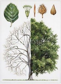 I think I already have this pinned, but just in case...Using Trees As Medicine. Basic info on the medicinal aspects of Alder, Apple, Ash, Beech, Birch, Cedar, Elder, Elm, Hawthorn, Hazel, Holly, Linden & Basswood, Maple, Oak, Pine, Poplar, Mountain Ash, Walnut, and Willow trees.