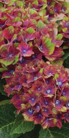 'Pistachio' Hydrangea. Oh how I want a bunch of these mixed in with native huckleberries and ferns out in front of the house.