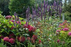 Agastache 'Blackadder' Dropplant. Mooie geurende plant. Blauwpaarse aren. Trekt veel vlinders en bijen.