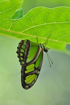 lime green butterfly - perfect match to our Harmony Color Karma bracelets! Beautiful Bugs, Beautiful Butterflies, Go Green, Green Colors, Vibrant Colors, Image Zen, Butterflies Flying, Green Butterfly, Tier Fotos
