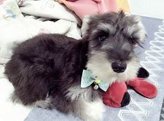 Miniature Schnauzer Puppies, Mini Schnauzer, Schnauzers, Standard Schnauzer, Dog Pin, Adorable Animals, Cute Dogs, Princess, Pets