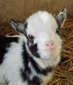 The Official Pygmy Goat Breed Society in Great Britain, for pygmy goat owners, breeders and anyone interested in pygmy goats Baby Farm Animals, Cute Little Animals, Cute Funny Animals, Animals And Pets, Mini Goats, Cute Goats, Baby Goats, Goat Picture, Tier Fotos