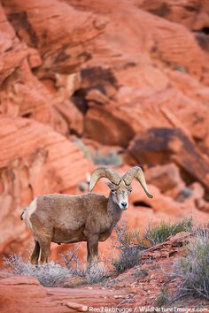 Desert Bighorn Sheep can be found in Valley of Fire State Park, Nevada