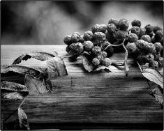 PhotoGraphist: Рябина Fruit