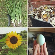 Thank you @backgardenfarming for using the #growreallife tag! Your little farm looks fantastic. Thank you for sharing your story and journey to encourage others.  #growreallife #homestead #homesteading #gardening #mulch #flower #sunflower #chickens #egg