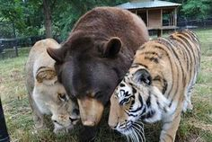 lion, tiger, and bear; great story of these three animals who were rescued together from a drug dealers house. let's put our heads together guys how can we get outa this one, we're just a lion, tiger and bear. Ohhhh MY! Animals And Pets, Baby Animals, Funny Animals, Cute Animals, Wild Animals, Baby Giraffes, Animals Photos, Nature Animals, Baby Elephant