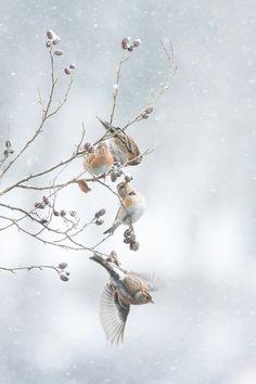 冬に生きる_アトリ_20140208