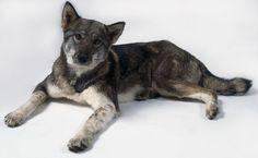 East Siberian Laika, dream dog