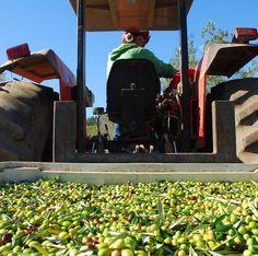 Las piedras #Olivenöl - die diesjährige Ernte hat begonnen