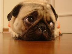 Patiently waiting for a treat! #Pug #