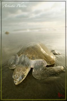 Turtle Ostional / Contemporary Art, Photography www.yoyonaturalart.com