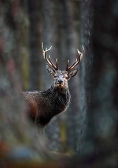 'Red Deer Stag In Pine Forest', by Neil McIntyre, taken in Carngorms National Park, Scotland