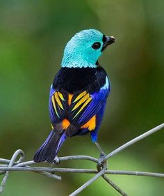 The paradise tanager (Tangara chilensis) is a brilliantly multicolored, medium-sized songbird whose length varies between 13.5 and 15 cm. It has a light green head, sky blue underparts and black upper body plumage. Depending on subspecies, the rump is yellow and red or all red. The beak is black and the legs are grey.