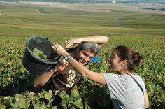 """Immersion totale dans les #vignes pour une expérience de """"vendanges"""" en #Champagne ! #Emotions pour les participants ! #cohésion #motivation Champagne, Ardennes, Cowboy Hats, Motivation, Grape Vines, Inspiration"""