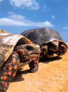 Turtles! Tortugas! They are a rareness of nature! Una rareza de la naturaleza!