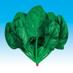 Hot big rodada folha de espinafre semente-Beijing concessão 50 sementes vegetais em grandes quantidades