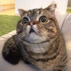 creamheroes lulu big eyes Crazy Cat Lady, Crazy Cats, Fluffy Animals, Cute Animals, Cute Cats, Funny Cats, Munchkin Kitten, Fluffy Cat, Cute Animal Pictures