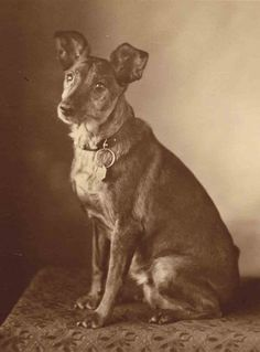 Pup w/wonderful ears Dog Photos, Dog Pictures, Vintage Photographs, Vintage Photos, Dog Lady, Vintage Dog, Old Dogs, Training Your Dog, Beautiful Dogs
