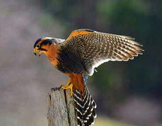 Aplomadovalk - Aplomado Falcon (Falco femoralis) in Mexico,Trinidad and South America by Paul R. Noseworthy.
