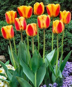 Look at this #zulilyfind! 'Oxford Elite' Tulip Bulb - Set of 10 #zulilyfinds