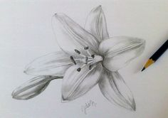 Lily - pencil with drawing