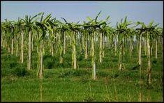Por ser uma planta que apresenta hábito escandente, a Pitaya necessita de tutoramento para seu cultivo. Podem ser utilizados vários tipos de tutores, desde mourões de concreto e de madeira, até tutores vivos (árvores).