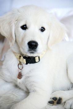 Rio the white Golden Retriever puppy | http://sweetbabydogs.lemoncoin.org