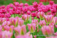 Znalezione obrazy dla zapytania tulipany purple prince