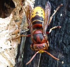 Deadly Asian Giant Hornet Spotted in Arlington Heights, Illinois: Not Cicada Killer Wasp Say What? Okay,NO visiting the eastern US! Japanese Giant Hornet, Deadly Animals, Cool Insects, Bee Swarm, Arlington Heights, Bees And Wasps, Bee Keeping, Science And Nature, Spinning