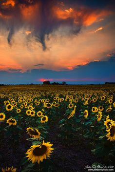 Stunning goodness of nature. Cheer of sunflowers contrast with clouds beginning to weep.