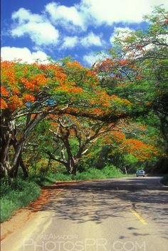 Shaded by Flamboyant Trees West Indies, Rio Grande, Puerto Rico Usa, Zimbabwe Africa, African Tree, Enchanted Island, Flamboyant, Out Of Africa, Tree Photography