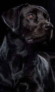Labrador Retrievers, Black Labrador Retriever, Retriever Puppy, Dogs Golden Retriever, Baby Beagle, Rottweiler Puppies, Lab Puppies, Cute Dogs Breeds, Dog Breeds