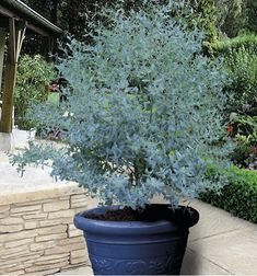 Eucalyptus gunnii 39 baby blue 39 gommier cidre bleu plantes pinterest jardins plantes et - Eucalyptus gunnii en pot ...