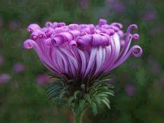 Flor crespa