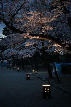 Cherry blossom walk, Kyoto