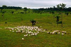 La ganadería es uno de los más grandes causantes de la deforestación en Brasil.  Rio Branco, Acre, Brazil.  Foto: Kate Evans | Center for International Forestry Research (CIFOR).