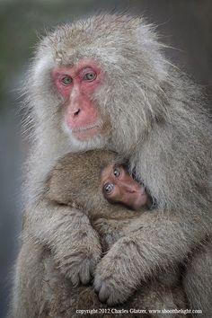 Snow monkey nursing baby #japan #nagano