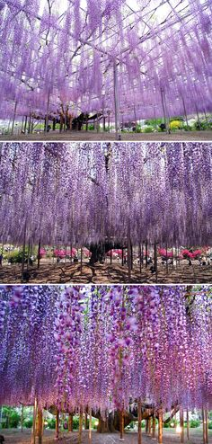 In Ashikaga Flower Park in Tochigi, Japan sits an incredibly gorgeous wisteria tree that's often referred to as the most beautiful in the whole world.