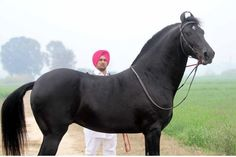 The magnificent black Marwari Stallion is a rare breed of horse from the Marwar region of India…it's known for its inward-turning ear tips…as a hardy cavalry horse…very loyal to its rider…and its bravery in battle. Most Beautiful Horses, All The Pretty Horses, Animals Beautiful, Rare Horse Breeds, Rare Breeds, Marwari Horses, Indian Horses, Horse Ears, Akhal Teke