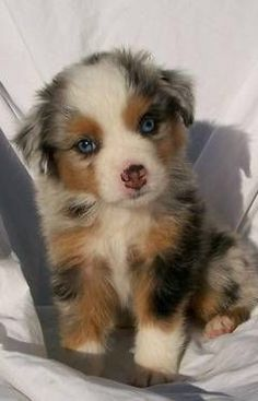 Australian Shepherd pup Awe look at this cutie Animals And Pets, Baby Animals, Funny Animals, Cute Animals, Cute Puppies, Cute Dogs, Dogs And Puppies, Doggies, Aussie Puppies