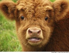 20 Pictures of Cute Baby Animals: The Cow Calf Cute Baby Cow, Baby Cows, Cute Cows, Cute Baby Animals, Farm Animals, Cute Babies, Fluffy Cows, Fluffy Animals, Highland Calf